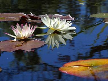 water-lily-lotus-flowers-plants-725x544